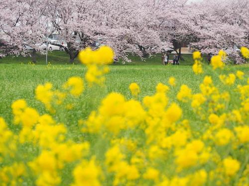菜の花b.jpg