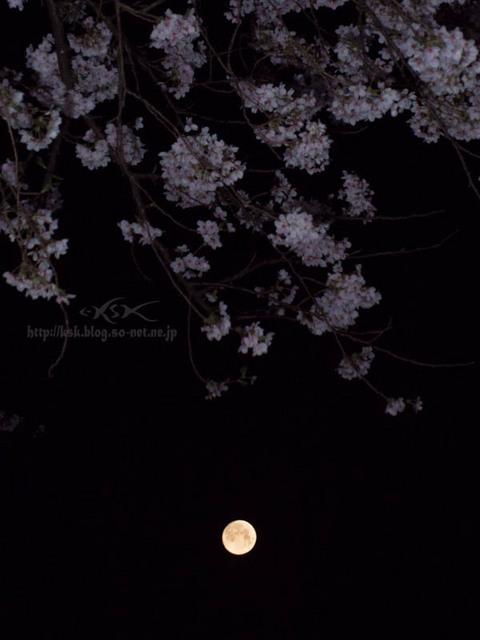 b夜桜-2.jpg