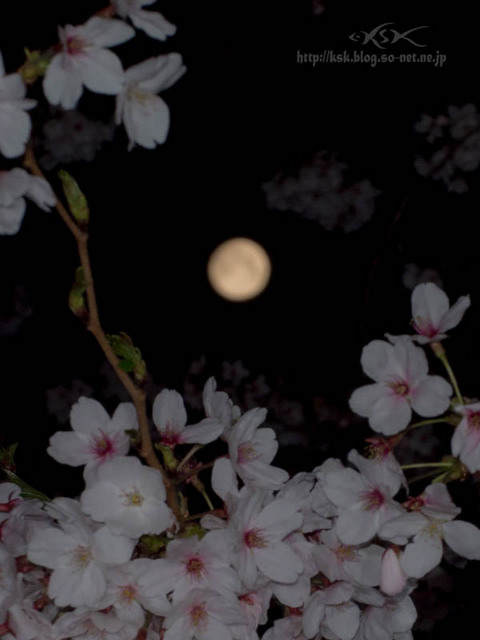 b夜桜.jpg