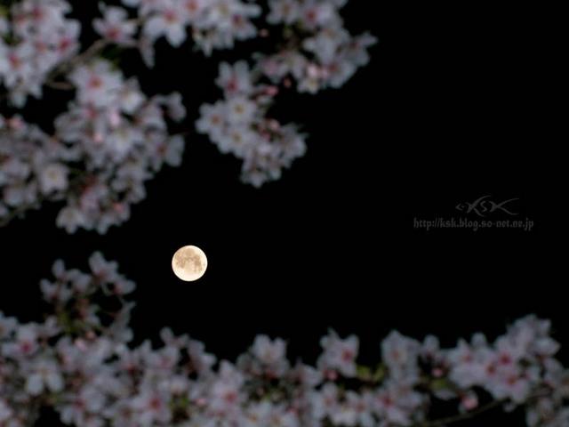 b夜桜-3.jpg