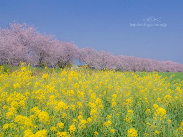 b菜の花-2.jpg